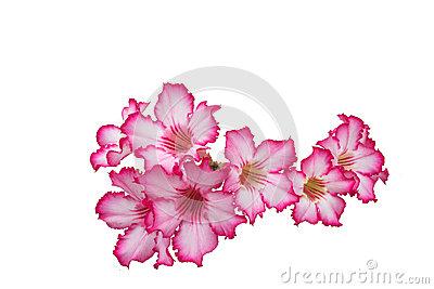 Desert Rose; Impala Lily; Mock Azalea Stock Photo.