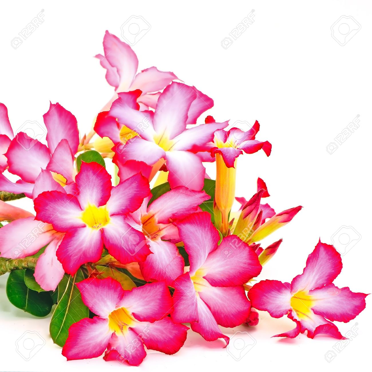 Summer Blossom Of Impala Lily, A Beautiful Red Flower Isolated.