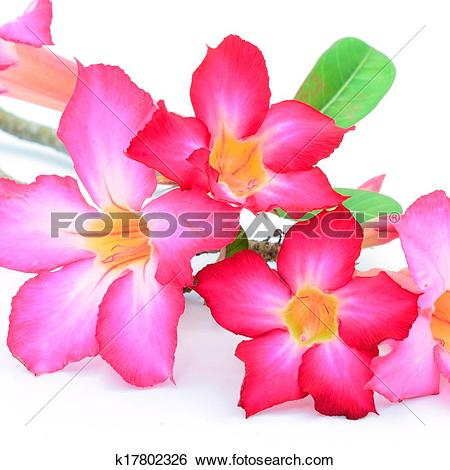 Stock Images of Impala Lily k17802326.