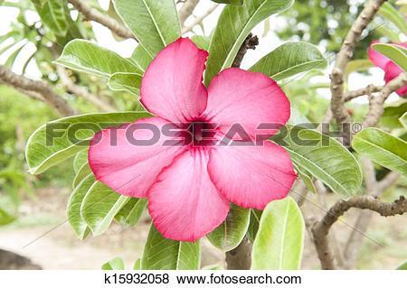 Pictures of Adenium obesum ,impala lily k15932058.