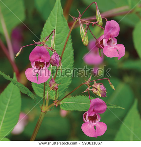 Impatiens Flowers Stock Photos, Royalty.