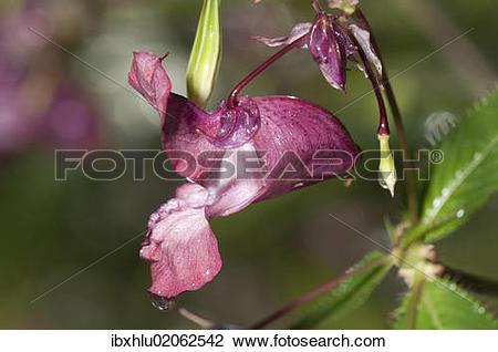 """Stock Photo of """"Himalayan Balsam (Impatiens glandulifera), single."""