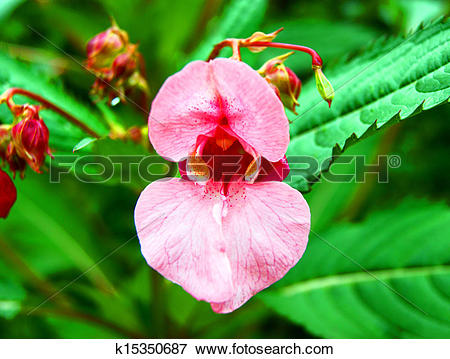 Picture of Indian balsam.