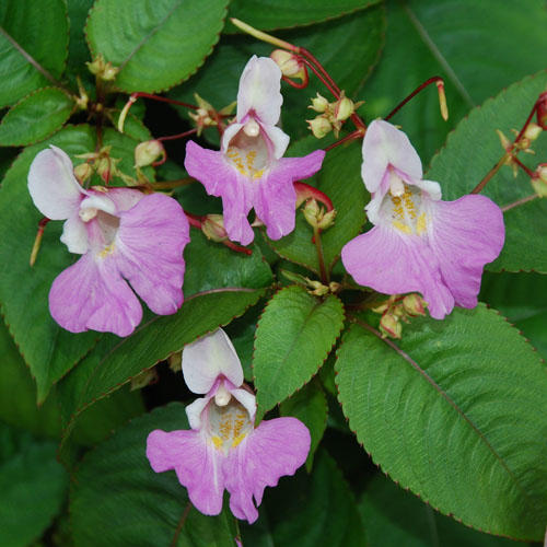 IMPATIENS BALFOURII SEEDS (Balfour's touch.