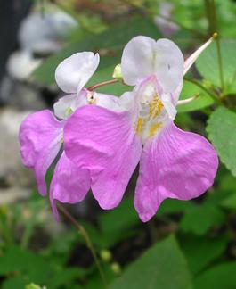 """Impatiens balfourii """"Poor Man's Orchid""""."""