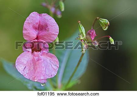 Stock Image of Ornamental Jewelweed (Impatiens glandulifera.