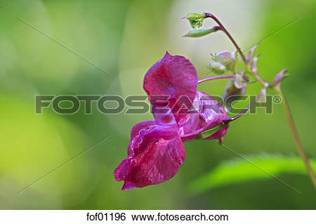 Stock Images of Ornamental Jewelweed (Impatiens glandulifera.