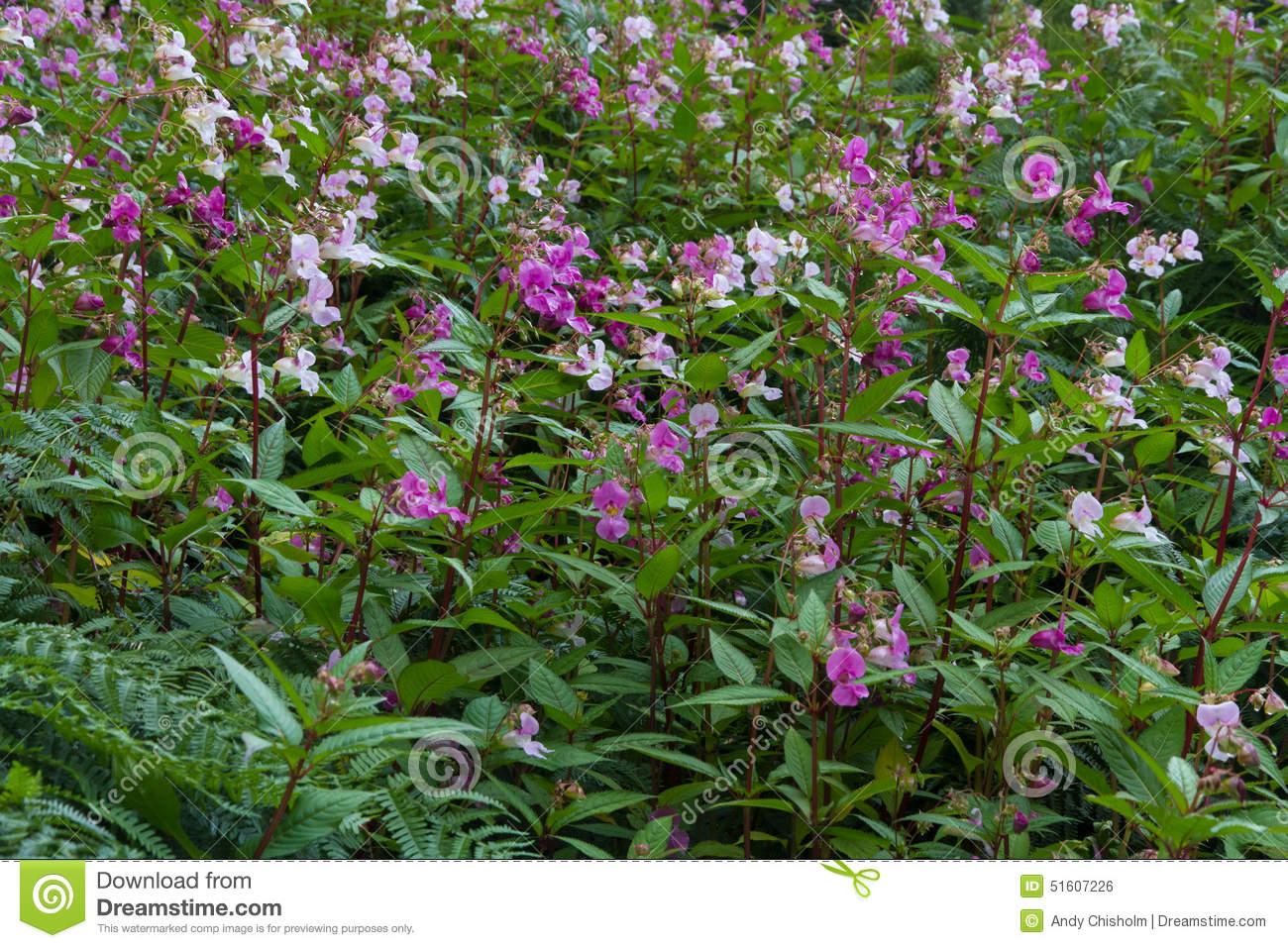 Impatiens Glandulifera, Himalayan Balsam, Flowering. Stock Photo.