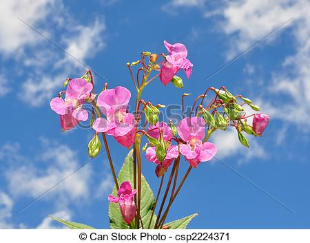 Stock Photography of Himalayan balsam (Impatiens glandulifera.