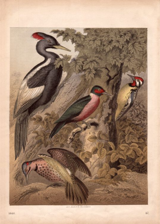 Imperial woodpecker clipart #17