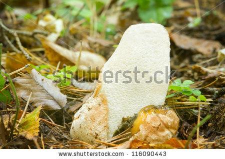 "stinkhorn_fungus"" Stock Photos, Royalty."