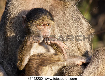 Stock Photography of Baby baboon sitting on his mother's lap in.