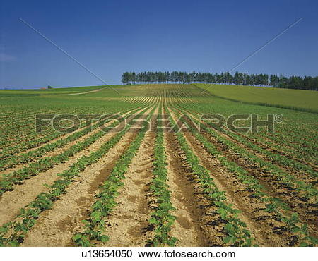 Stock Photography of Bean crops growing in rows in Hokkaido, Japan.