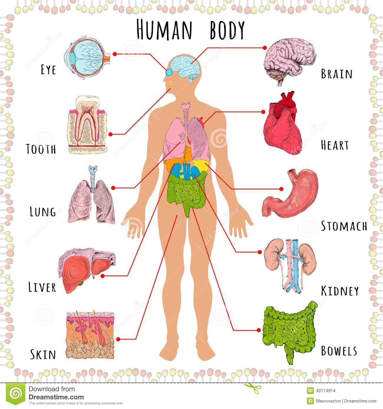 Human body organs clipart.