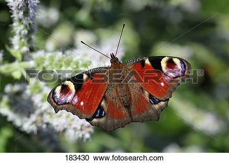 Stock Photography of European Peacock Butterfly (Inachis io.