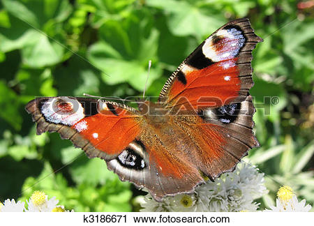 Stock Photography of The butterfly peacock (Inachis io.
