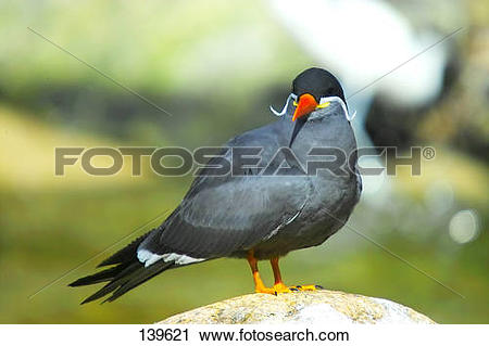 Stock Photography of Inca Tern.