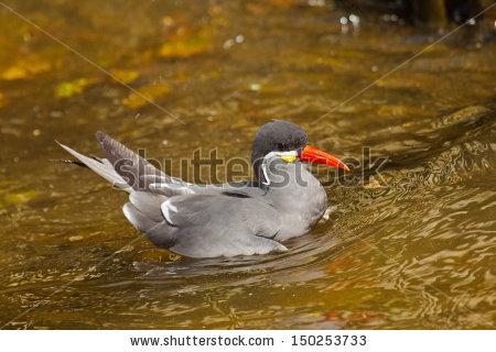 Inca Tern Stock Photos, Royalty.