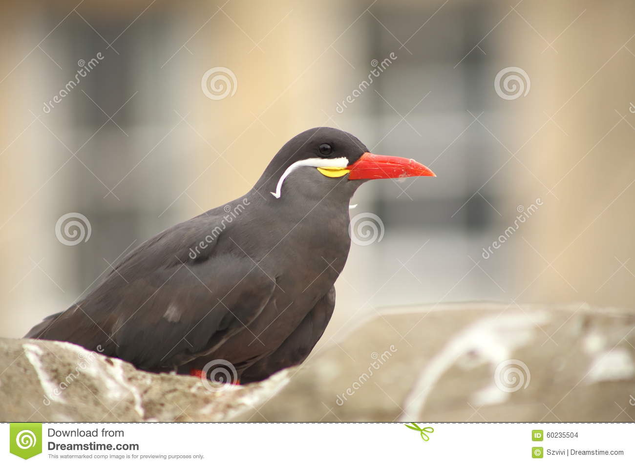 Inca Tern, A Bird With White Moustache In A Zoo. Stock Photo.