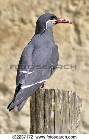 Stock Photo of Inca tern perched on wood post k32237172.