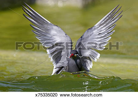 Stock Photography of Inca tern x75335020.