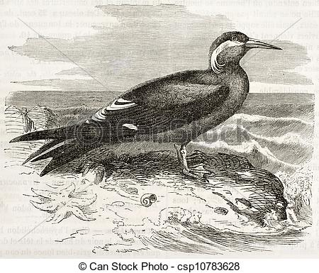 Clip Art of Inca Tern old illustration (Larosterna inca). Created.