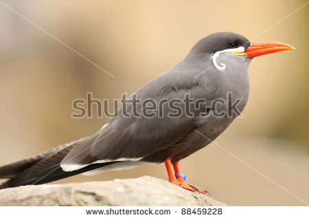 Inca Tern Stock Photos, Royalty.