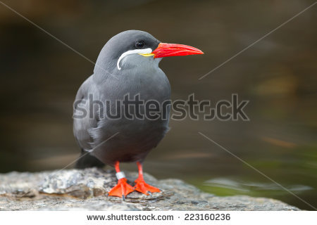 "inca_tern"" Stock Photos, Royalty."