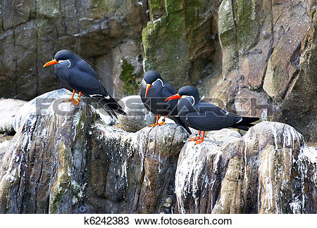 Stock Photo of Three inca terns k6242383.