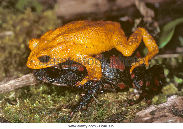 Golden Toad Stock Photos & Golden Toad Stock Images.