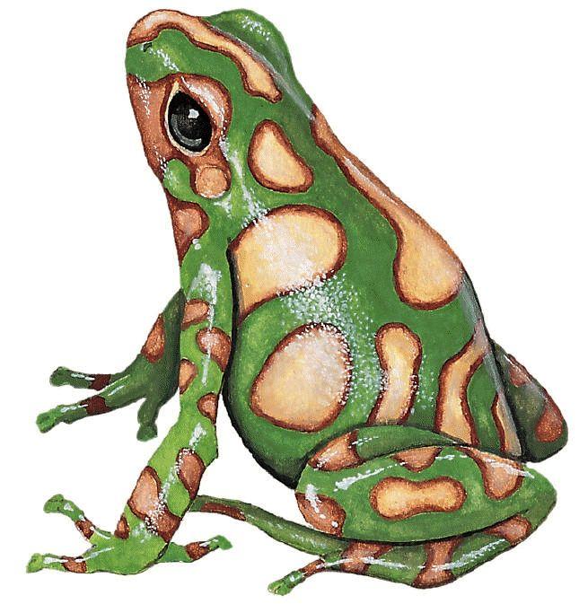 poison dart frog.