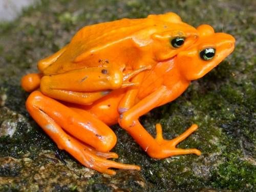 Golden Toad en pareja.