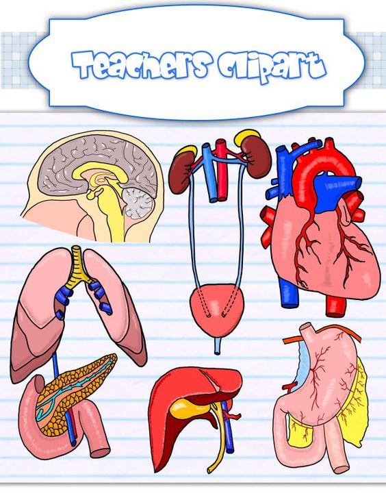 Body organs clipart {REALISTIC}.