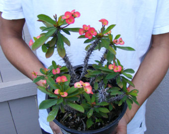 Crown of Thorns RED Euphorbia Milii Plant Cactus by BeautiFlorist.