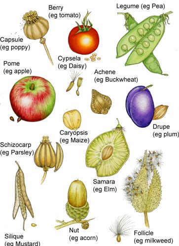 News » Botanical Illustration: Botanical terms for fruit types.