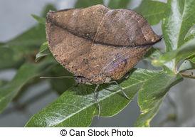 Stock Images of Kallima paralekta or Oak Leaf Butterfly.