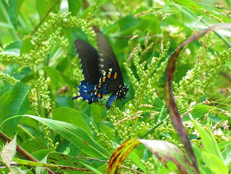 Black, Butterfly, With, Blue.
