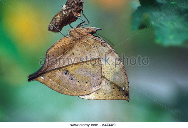Indian Leaf Butterfly Kallima Paralekta Stock Photos & Indian Leaf.