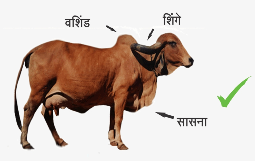 Indian Cow PNG Images.