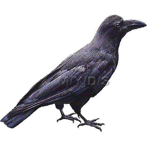 Indian crow clipart.