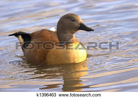 Stock Photo of Indian Whistling Duck k1396463.