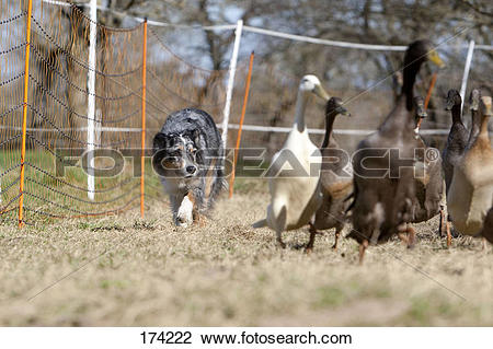 Stock Photo of Australian Shepherd herding Indian Runner Ducks.