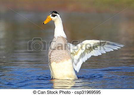 Stock Photographs of Male Indian Runner Duck in Blue Water.