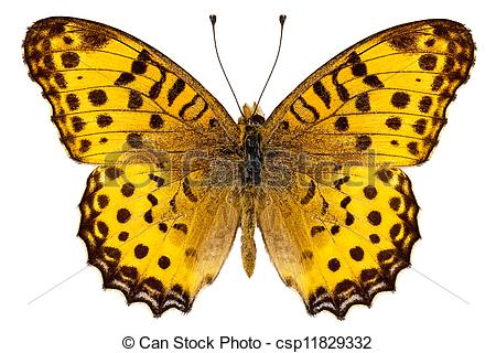 Stock Photos of Butterfly species Argynnis hyperbius