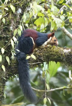 Indian giant squirrel (Malabar giant squirrel) You will excuse me.