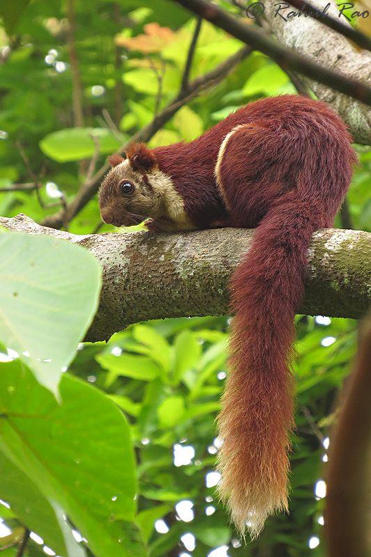 libutron: Malabar Giant Squirrel.