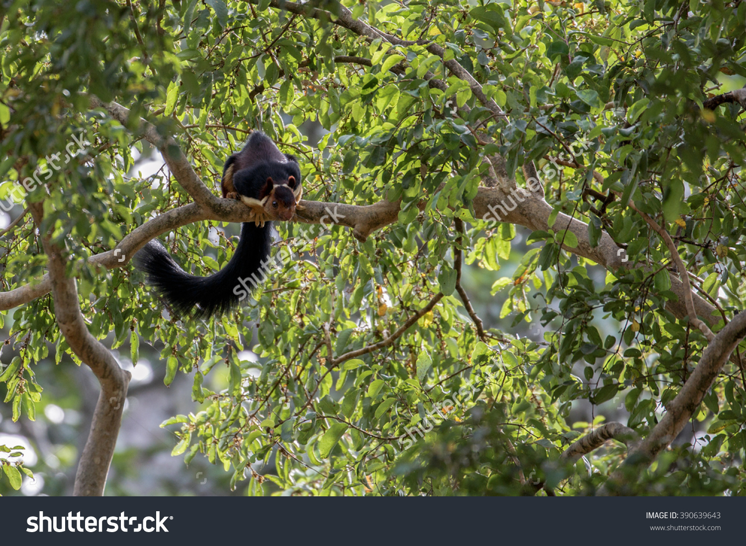 Indian Giant Squirrel Ratufa Indica Sandalwood Stock Photo.