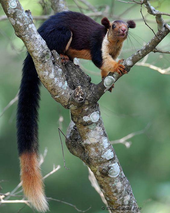 Malabar Giant Squirrel.