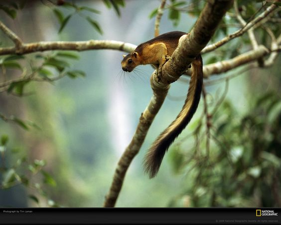 Indian Giant Squirrel.