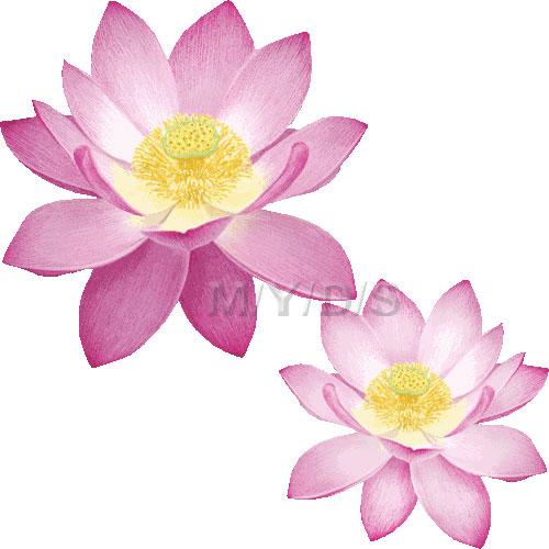 Indian Lotus, Sacred Lotus, Nelumbo Nucifera clipart / Free clip art.
